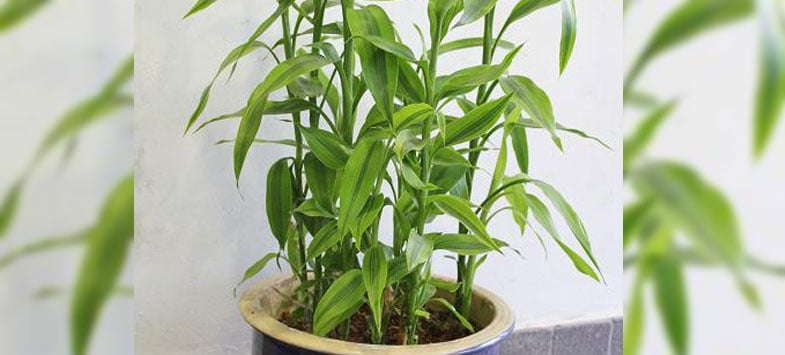 bamboo pot plant