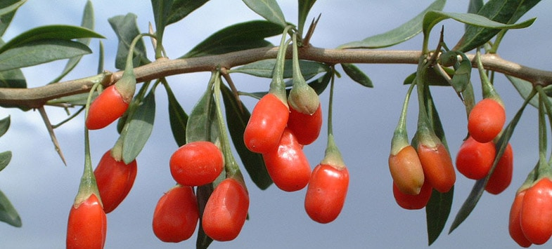 goji berries chinese wolfberries
